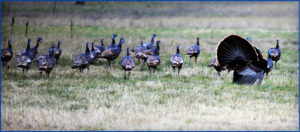 Wild Winter Turkeys in the Texas Hill Country