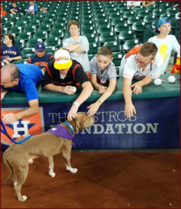Salvador, a beautiful Pitt Bull mix, at the Astros game. Salvador needs a forever home.